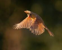 Northern Cardinal Female In Flight