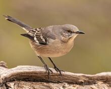 Northern Mockingbird Standing On Rock