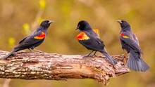 Red-Winged Blackbird Trio On Limb