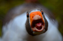 High Angle View Portrait Of Goose Quacking