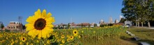 Close-up Of Sunflower Field Against Clear Sky