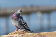 Colorful Pigeon With Head Tilt And Out Of Focus Ocean Background