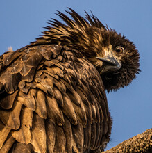 Young Bald Eagle With Funny Head Tilt Looking At The Camera