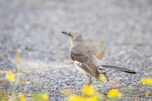 Northern Mockingbird On The Ground