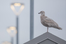 Immature Gull Contemplates Life On A Lighted Pier