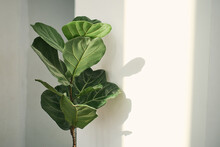 Green Leaves Of Fiddle Fig Or Ficus Lyrata. Fiddle-leaf Fig Tree Houseplant On White Wall Background,, Air Purifying Plants For Home, Houseplants With Health Benefits
