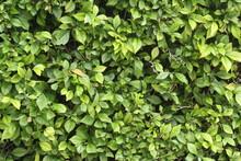 Leaf Texture Of Plant Shrubs