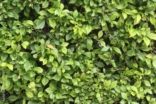 Vászonkép leaf texture of plant shrubs