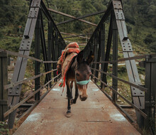Mule Horse Carrying Luggage On An Iron Bridge