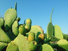 Close-up Of Prickly Pear Cactus Against Clear Blue Sky