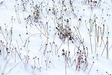 Last Year's Dried Flowers Were Covered With Fresh Snow