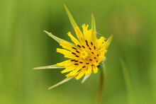 Macro Shot Of Meadow Salsify Flower Against A Green Background