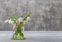 White Fragile Snowdrops In A Glass Jar With Bow Against Gray Background. Small Beautiful Bouquet Of The First Spring Flowers Galanthus Nivalis. Vintage Spring Greeting Card. Copy Space.