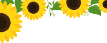 Sunflowers With Green Leaves On White Background Vector Illustration.