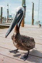 Pelican Resting On A Sunny Pier In Florida, USA.