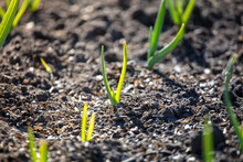 Small Sprouts Of Garlic In The Ground.
