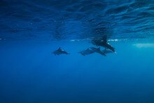 Spinner Dolphins Underwater In Blue Ocean. Dolphins Family In Indian Ocean