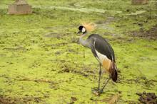 ฺBird With A Red, Black And White Head Stand On The Mossy Green Ground Near The River In The Rain. Waiting For Food In Forest.