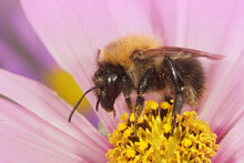 Selective Focus Shot Of A Male Common Carder Bee On A Pink Cosmos Flower