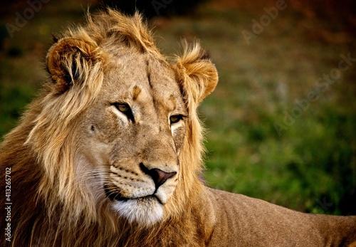 Fototapeta Close-up Portrait Of A Lion