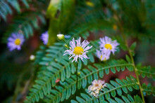 Close-up Of Erigeron Annuus Blossoms Spotted In Nature