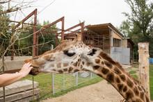 Giraffe Eats An Apple With Hand