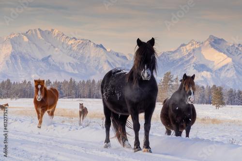 Fototapeta horses in winter obraz