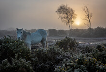 A New Forest Pony Eating Gorse Just After Sunrise On A Misty, Cold Winter Morning. Near Hatchet Pond, Beaulieu, Hampshire, UK