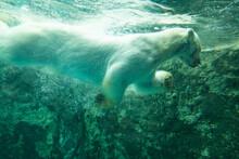 シロクマ,泳ぐシロクマ,北海道旭山動物園のシロクマ