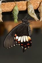Papilio Fuscus, Canopus Swallowtail, Tropical Butterfly Newly Emerged From The Dark Chrysalis, Selective Focus