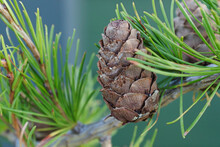 Macro Of Cone Bracts On A Larch Branch With Blue Background