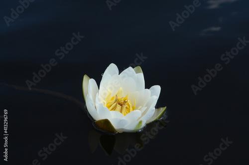Fototapeta European white water lily (Nymphaea alba, white water rose or nenuphar) is reflected in the dark blue water surface obraz na płótnie