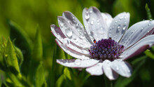 Macro Closeup Photo Of Beautiful White Gerbera Daisy Flower With Raindrops After The Rain