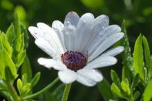 Macro Closeup Photo Of Beautiful White Gerbera Daisy Flower With Raindrops After The Rain