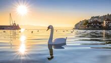 White Swan On Ohrid Lake On Sunset