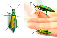 Collage Of Macro Images Of The Blister Beetle, Lytta Vesicatoria, Known To Have A Poisonous And Aphrodisiac Substance In The Elytra, The Cantharidin