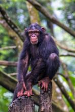 Chimpanzee Sitting In The Stones