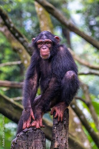 Leinwand Poster Chimpanzee Sitting In The Stones