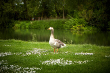 Greylag Goose By River On Field
