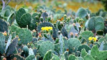 Close-up Of Prickly Pear Cactus Growing Outdoors