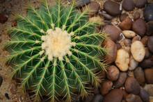 Top View Image Of Echinocactus Grusonii.