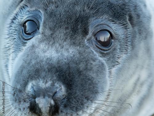 Close-up Portrait Of Grey Seal On Field Fotobehang