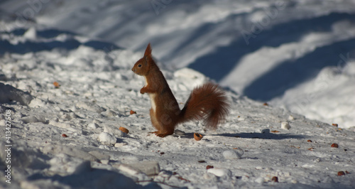 Fototapeta Squirrel obraz