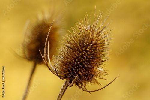 Fotografia Close-up Of Dried Thistle