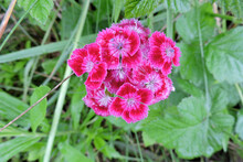 Pink Sweet William Carnation Flowers In Close-up, Green Leaves In The Background