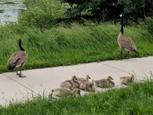 Canada Geese With Goslings On Footpath