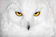 Hypnotic Snowy Owl Portrait In White