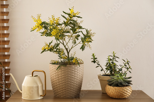 Obraz na płótnie Beautiful potted mimosa with other houseplants and watering can in room