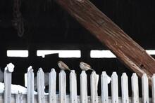 Small Birds On A Barn Gate