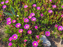 Floral Background. Field Of Many Dark Pink Blooming Sea Fig Flowers. Carpobrotus Chilensis Is Ground Creeping Plant With Succulent Leaves In The Family Aizoaceae. Purple Blossoms With Yellow Center.
